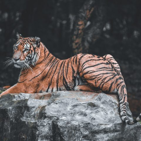 tiger good shot id